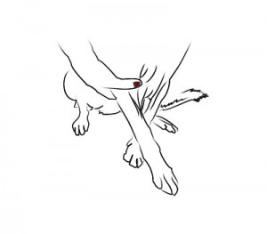 sites for blood collection in dogs© | atvetstore, Cephalic Vein